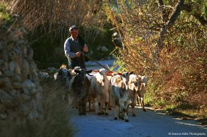 A shepherd leads a flock of sheep down a lane in the countryside in Paros, Greece