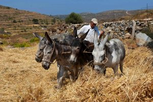 Farmer & 4 donkeys in the hills in the countryside in the Cyclades island of Paros, Greece