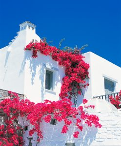 Red flower blossom on the whitewashed walls of a building at Yria Hotel & Spa resort In Paros